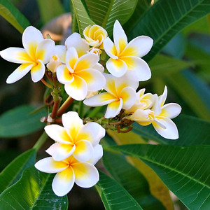 XLB PALM TREES flowering plumeria available now