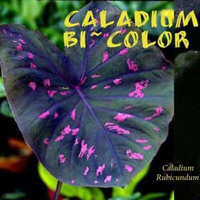 ~BI-COLOR~ Caladium Rubicundum Neon Pink Spots! Elephant Ear Live Sml Potd - Elephant Color