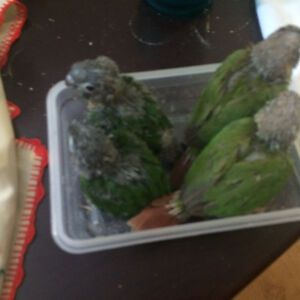 Green check Conures West Island Greater Montréal image 7