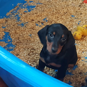 Standard Dachshund Puppies (sold ppu)