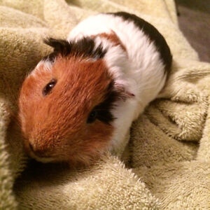 Male Guinea pig for a loving home!