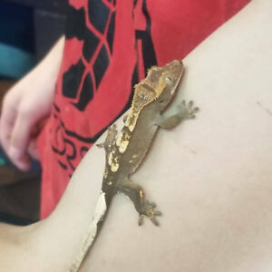 Baby crested geckos at The Extreme Aquarium. Special pricing.