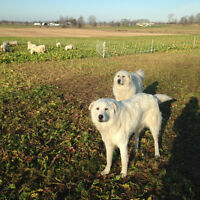 Adult maremma guardian dogs (sheep)
