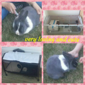 POTTY TRAINED BEAUTIFUL LIONHEAD  3 YEAR OLD RABBIT