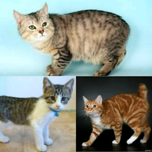 Looking for Manx cat/kitten