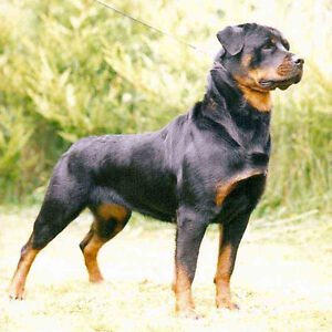 I'm in need of a Rottweiler.....Plzs Read
