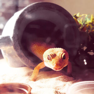 Leopard Gecko For Sale with tank, light and tank objects