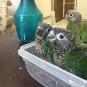 Green check Conures West Island Greater Montréal image 6