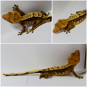 Pinstripe/Harliquin Male Crested Gecko