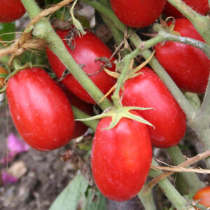 Plant tomate italienne