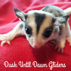 Sugar Glider Joeys Available