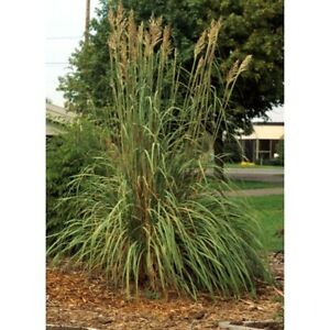 Erianthus ravennae hardy pampas grass seeds for Hardy tall ornamental grasses