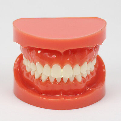 New Dental Teach Study Adult Standard Typodont Demonstration Model 11