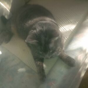 Lost female grey tabby cat, Tues, Aug 1st