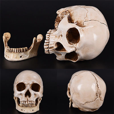 Life Size 1:1 Resin Human Skull Model Anatomical Medical Teaching Skeleton head - Skeleton Heads