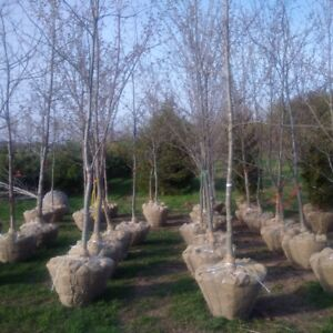 Mature RED OAK and RED MAPLE Trees ( 16 -24feet tall)