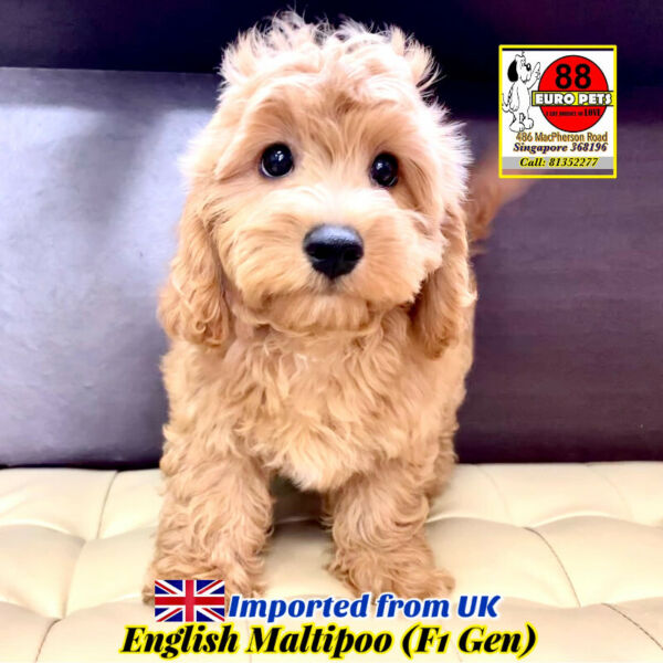 [SOLD] Maltipoo Puppies for Sale Call 81352277 (Imported from UK)