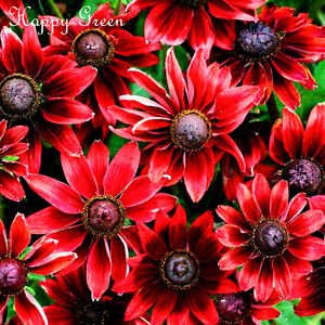 CONEFLOWER - CHERRY BRANDY - 120 SEEDS - Rudbeckia Hirta - Black eyed Susan