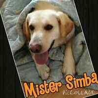 Rescue lab needs loving home