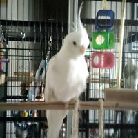 2 White cockatiels for sale - Breading pair