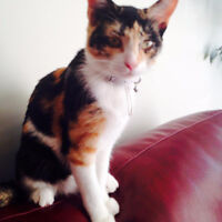 Cute friendly Calico looking for caring home