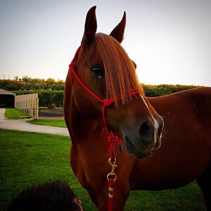 Part Board available - Arabian Gelding in Stony Mountain