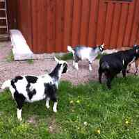 Pigmy goats for sale