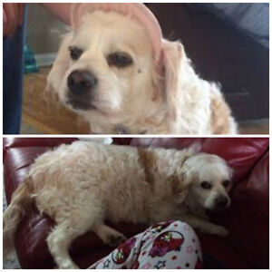 Lost blind dog in Davidson, Quebec Gatineau Ottawa / Gatineau Area image 1