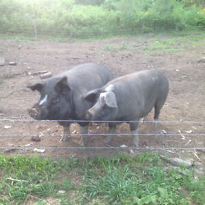 A pair of Berkshire pigs
