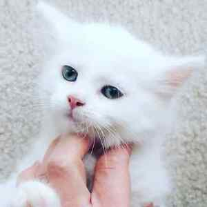 Beautiful baby grill ragdoll X kitten one left