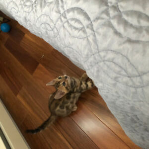 Chatons Bengals tica