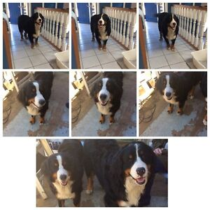 2 year old Bernese Mountain Dogs ( In June )