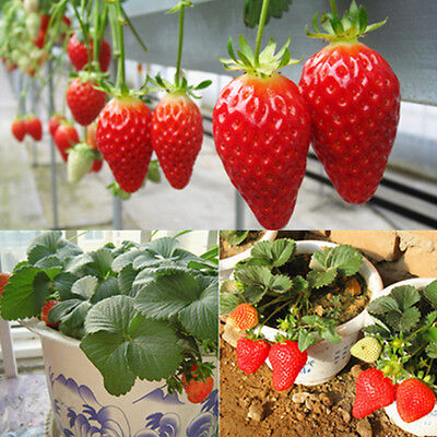 Lots 100pcs Climbing Enduring Red Strawberry Seeds Four Season Fruits (Four Fruits)