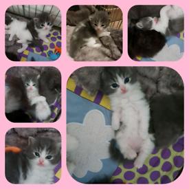 4 female kittens for sale