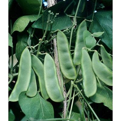 Early Thorogreen Bush Lima Bean - Heirloom dwarf plant is a big yielder!! WOW!!  - Lima Bean Plants