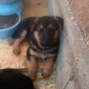 German shepherd puppies (micro-chipped)