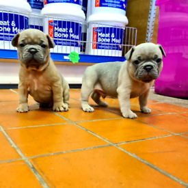 💛 French Bulldog Puppies 💛