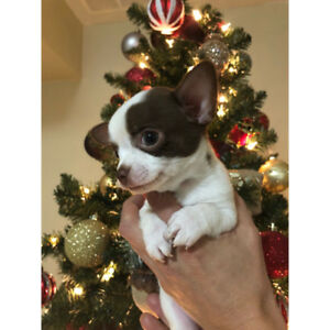 PERFECT CHRISTMAS CHIHUAHUA PUPPIES FOR SALE
