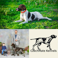 GSP CKC Registered German Shorthaired Pointer Puppies | Dogs