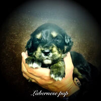 Labernese Puppies for sale