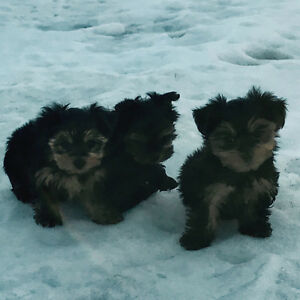 T-Cup Yorkie (Yorkshire Terrier) Puppies