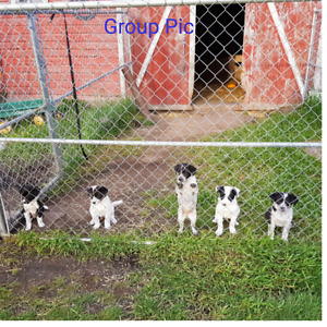 Blue Heeler/Border Collie Pups For Sale