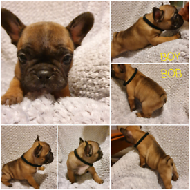 KC REGISTERED&Dad CHAMPION French Bulldogs Puppies