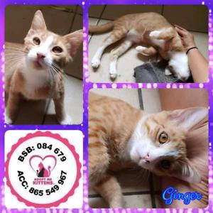 Ginger (Adopt me kittens)