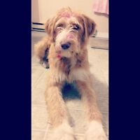 DOG MISSING LABRADOODLE