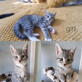 BengalXKorat kittens