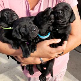 6 full bred Black labrador pups £1150 a pup
