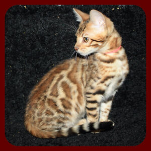 Registered Bengal girl