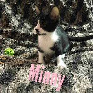 Minny - rescued black & white female kitten for adoption