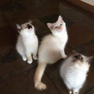 2 purebred female seal point ragdoll kittens Sunnybank Brisbane South West Preview